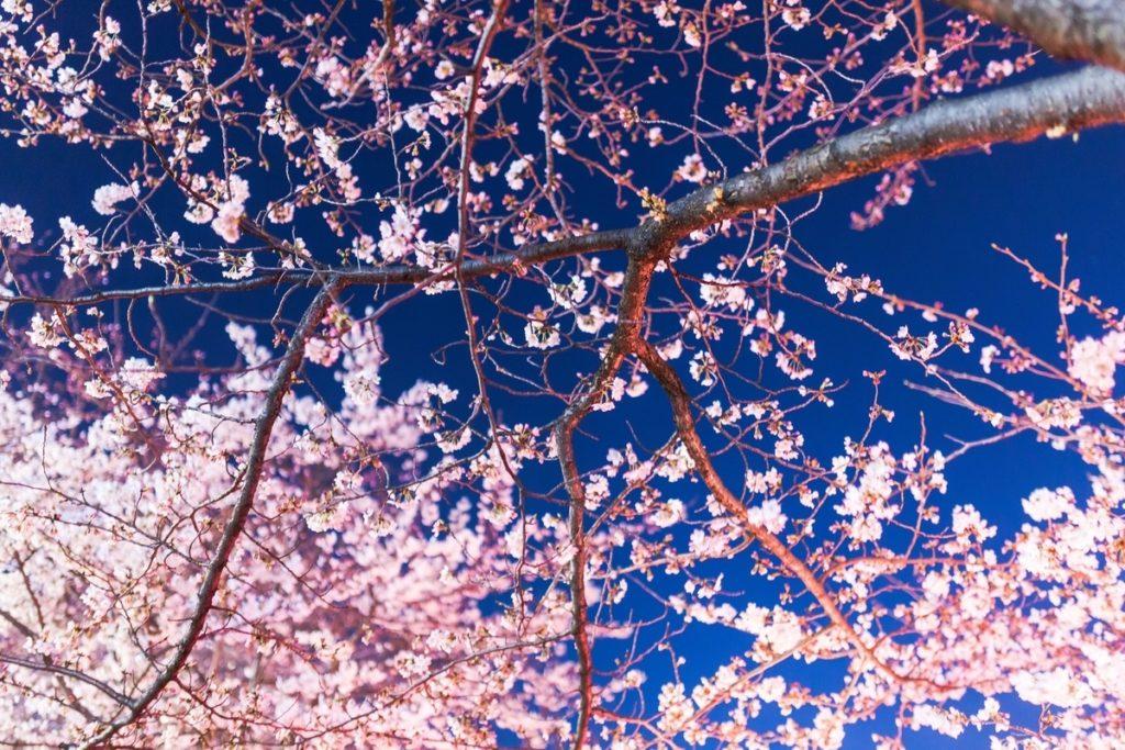 夜に咲く満開の桜