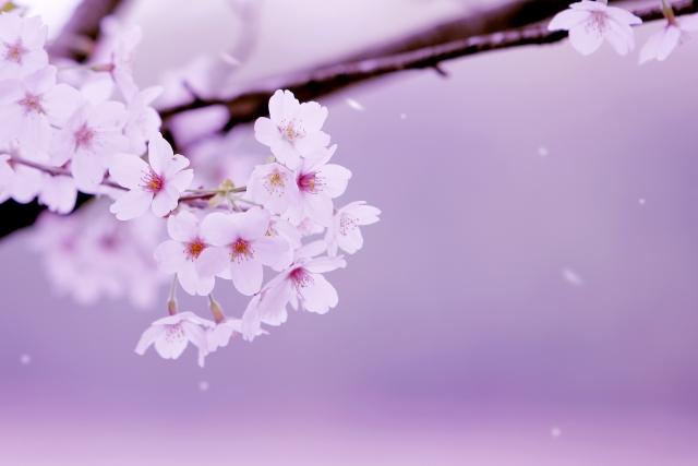 艶美に咲き誇る桜の花