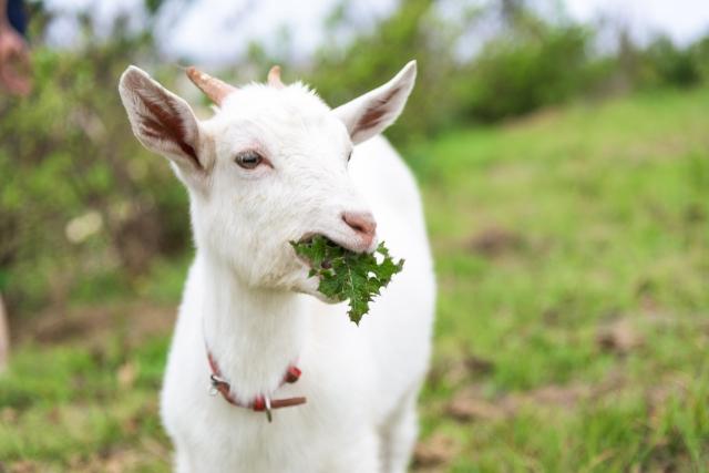 草を食べるヤギ