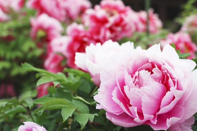 美しく微笑むピンクの牡丹