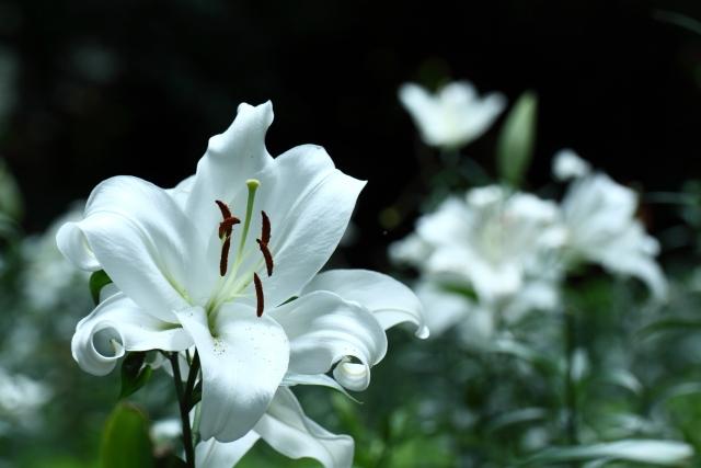 歩く姿は百合の花