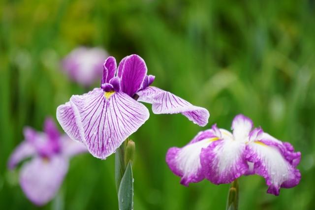艶やかな紫色が美しい花しょうぶの花