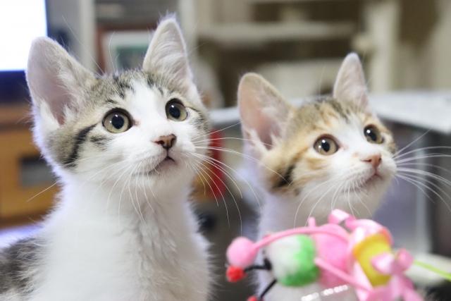 好奇心旺盛な二匹の三毛猫