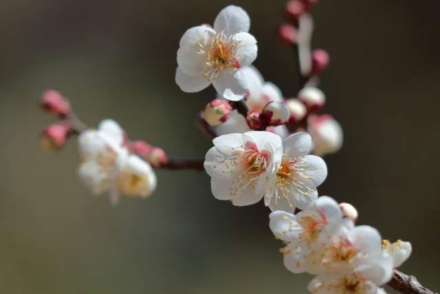気品豊かに咲き誇る白い梅の花