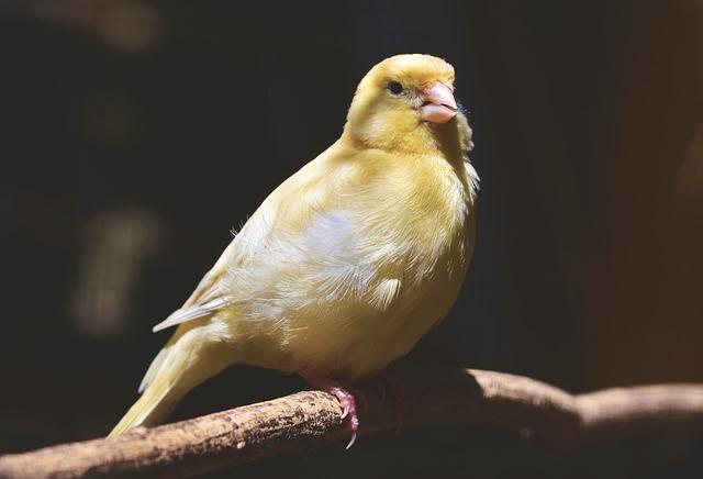 黄色い鳥カナリア