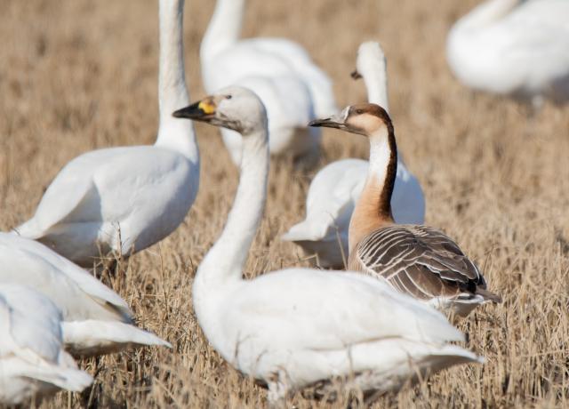 地上でくつろぐ雁の群れ
