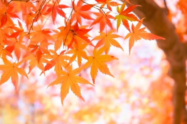 赤く色づく秋の紅葉(もみじ)