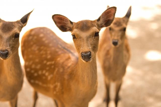 つぶらな瞳で見つめてくる愛らしい奈良公園の鹿たち