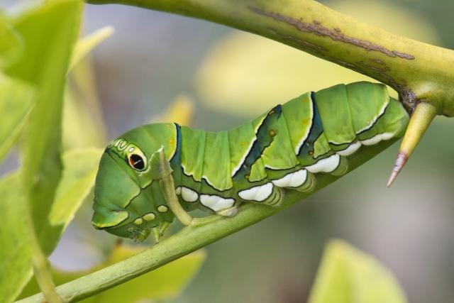 枝の先を這うアゲハチョウの幼虫