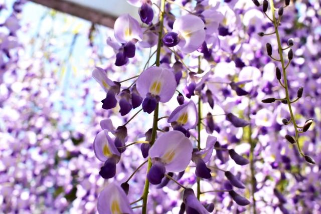 あでやかに垂れ下がる藤の花