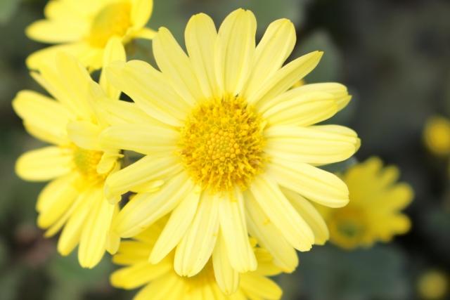 卵色の小菊の花