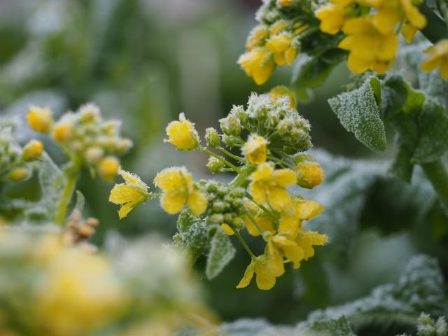 霜の降りた植物