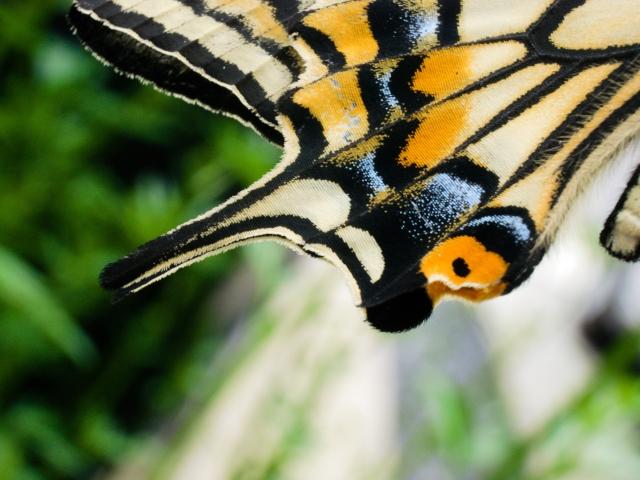 チョウの羽のアップ写真