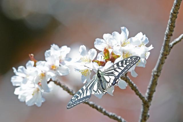 純白の花にとまるアゲハチョウの優美な姿