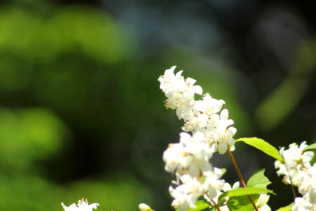 ウツギの白い花