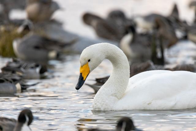 水辺でくつろぐ白鳥