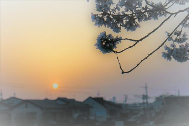 桜を影にした日の出