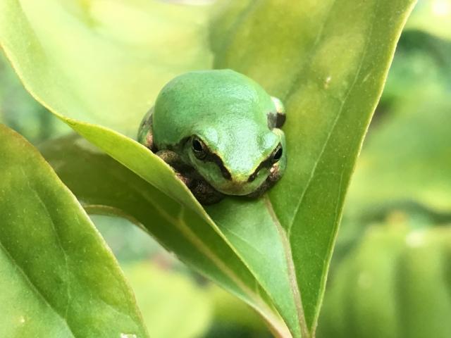 葉っぱの上のみどりのカエル