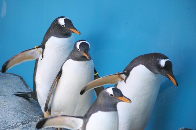 よちよち歩きのペンギンたち