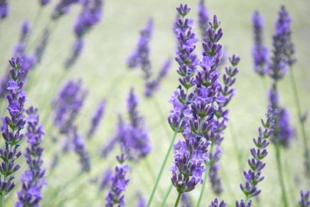 薄紫が艶やかなイングリッシュラベンダー