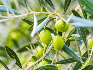 木になったオリーブの実